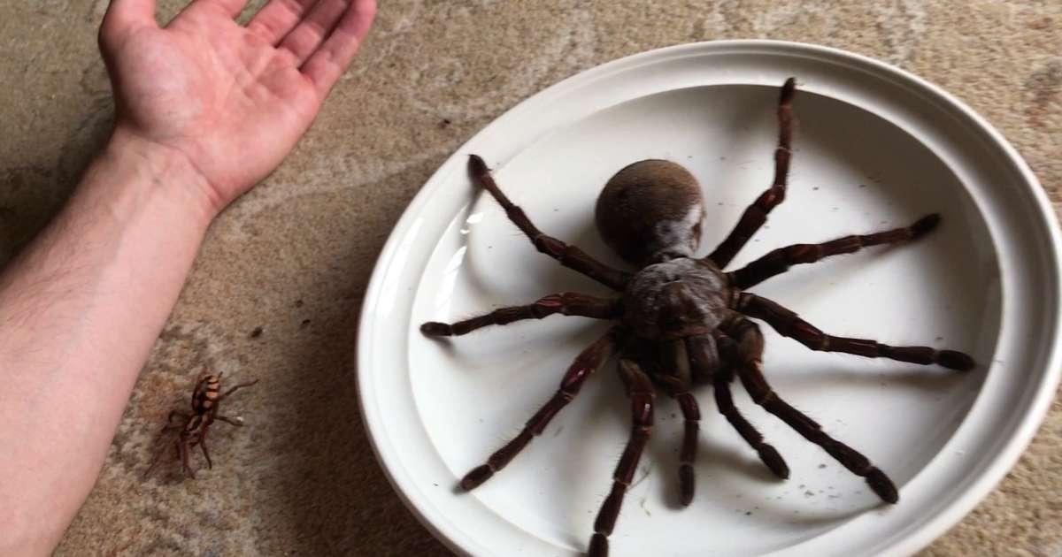 Die Größte Spinne Der Welt