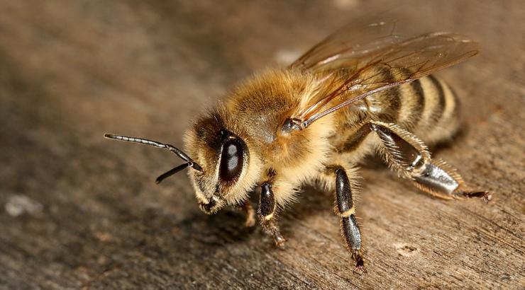 """Biene zum """"wichtigsten Lebewesen"""" erklärt"""