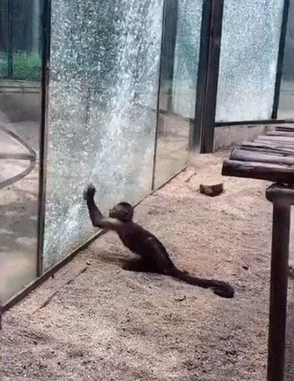 Affe zerschmettert Glasscheibe