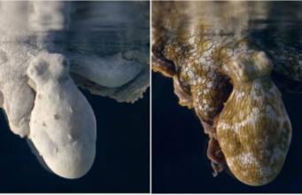 Schlafender Tintenfisch ändert Farbe