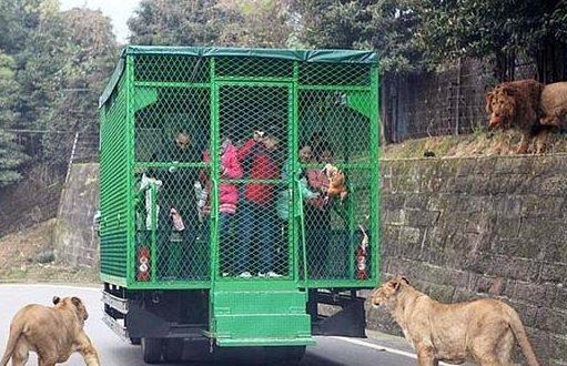 Chinesischer Zoo fährt seine Besucher in vergitterten Fahrzeugen, während die wilden Tiere frei herumlaufen
