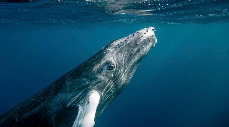 Buckelwalpopulation hat sich erholt