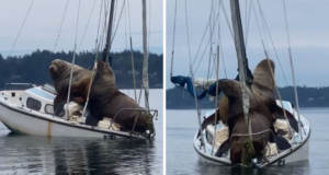 Zwei riesige Seelöwen lümmeln sich auf einem winzigen Segelboot