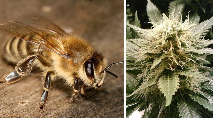 Bienen mögen Cannabis